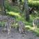 Kinder-Spezial: Wolfswanderung in der Dämmerung