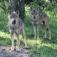 Barrierefreie Wolfswanderung in der Dämmerung