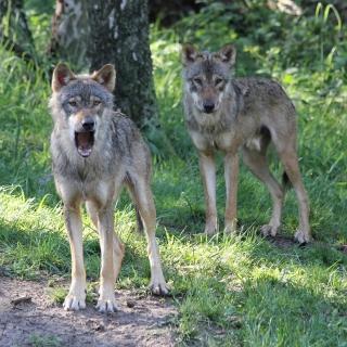 Wolfswanderung in der Dämmerung