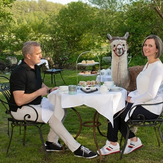 Tea Time im Grünen mit Alpakas