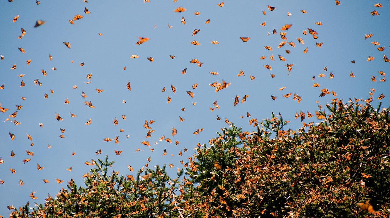 general-butterflies