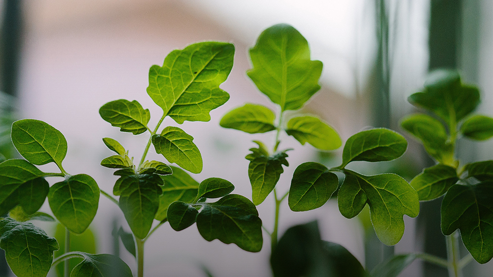 Adaptogens: Could Going Green' Reduce Your Stress?