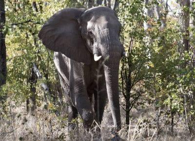 World Elephant Day: Forevermark moves giants