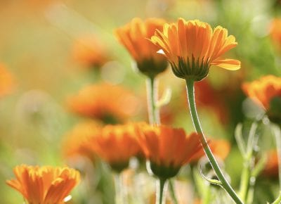 Five ways to use calendula oil
