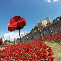 Tower Poppies: Opening
