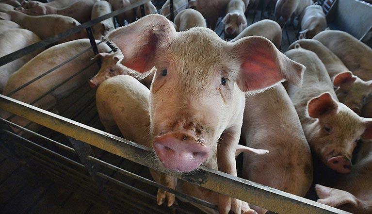 Non à 17 000 cochons enfermés dans une usine !
