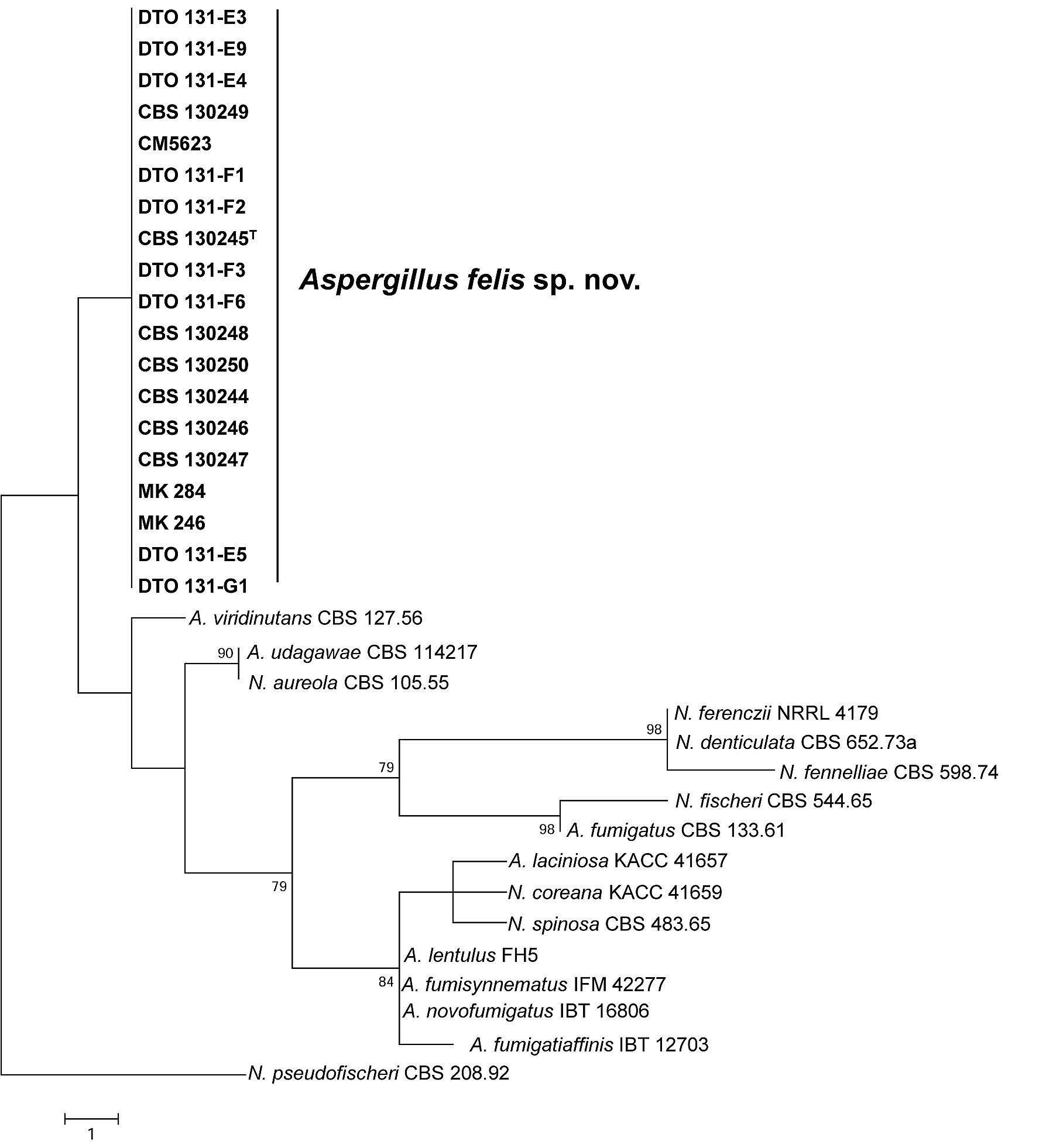aspergillus felis sp nov an emerging agent of invasive