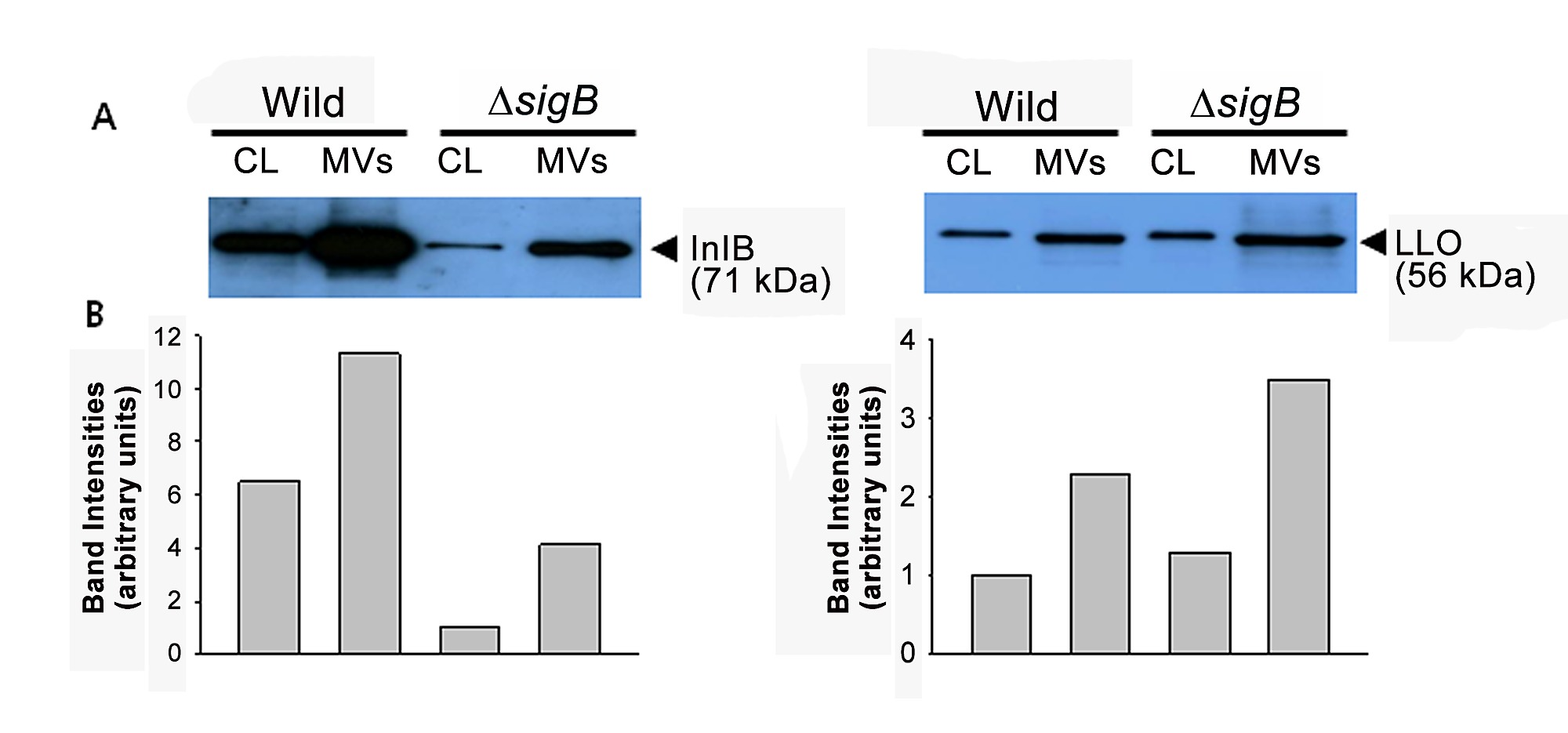 Internalin Part - 17: Western blot analysis of Internalin B (InlB) and Listeriolysin O (LLO) in  the cell lysate and MVs.