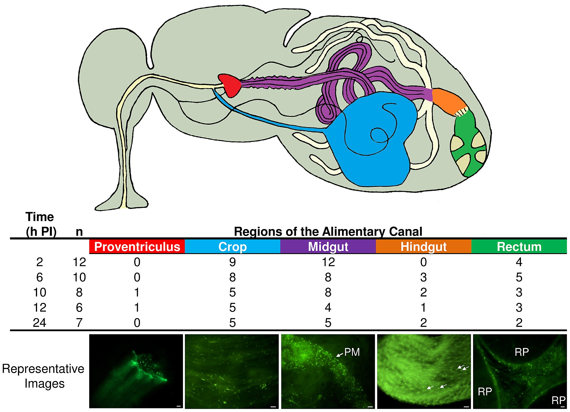 GFP-P. aeruginosa were found throughout the house fly alimentary ...