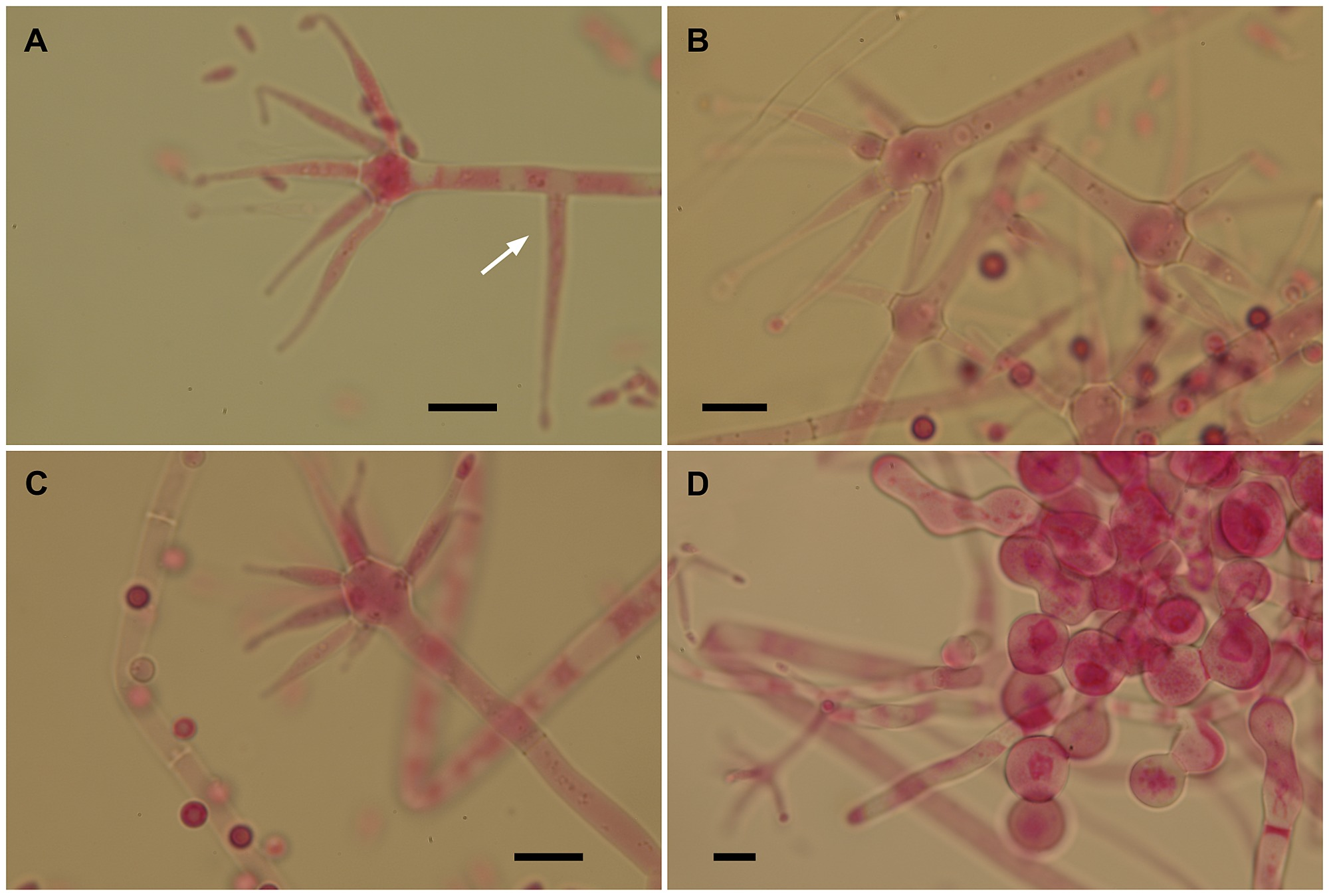 """Yet More """"Weeds"""" in the Garden: Fungal Novelties from Nests of Leaf ..."""
