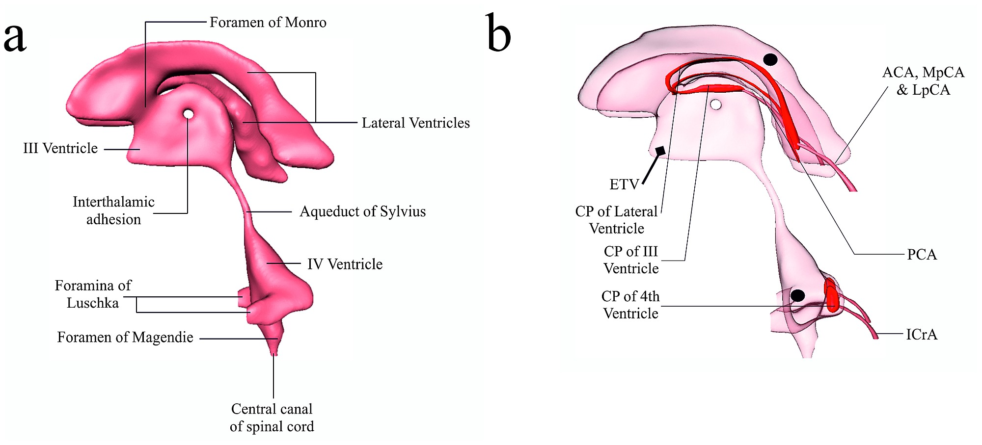 The cerebroventricular system, along with the choroid plexuses and ...