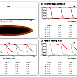 Neural control of body-plan axis in regenerating planaria
