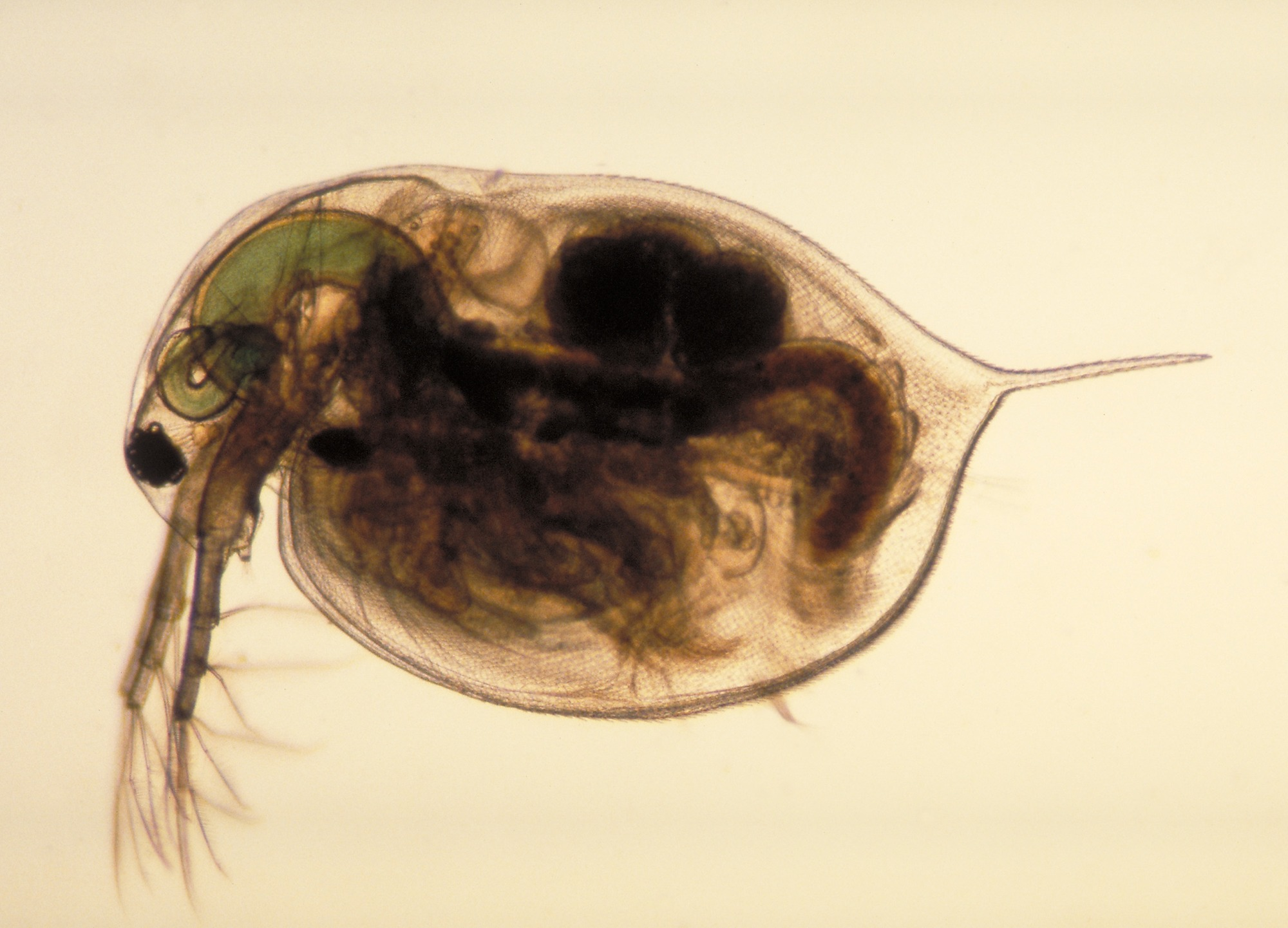 Experiments With Daphnia Magna The Water Flea Show That