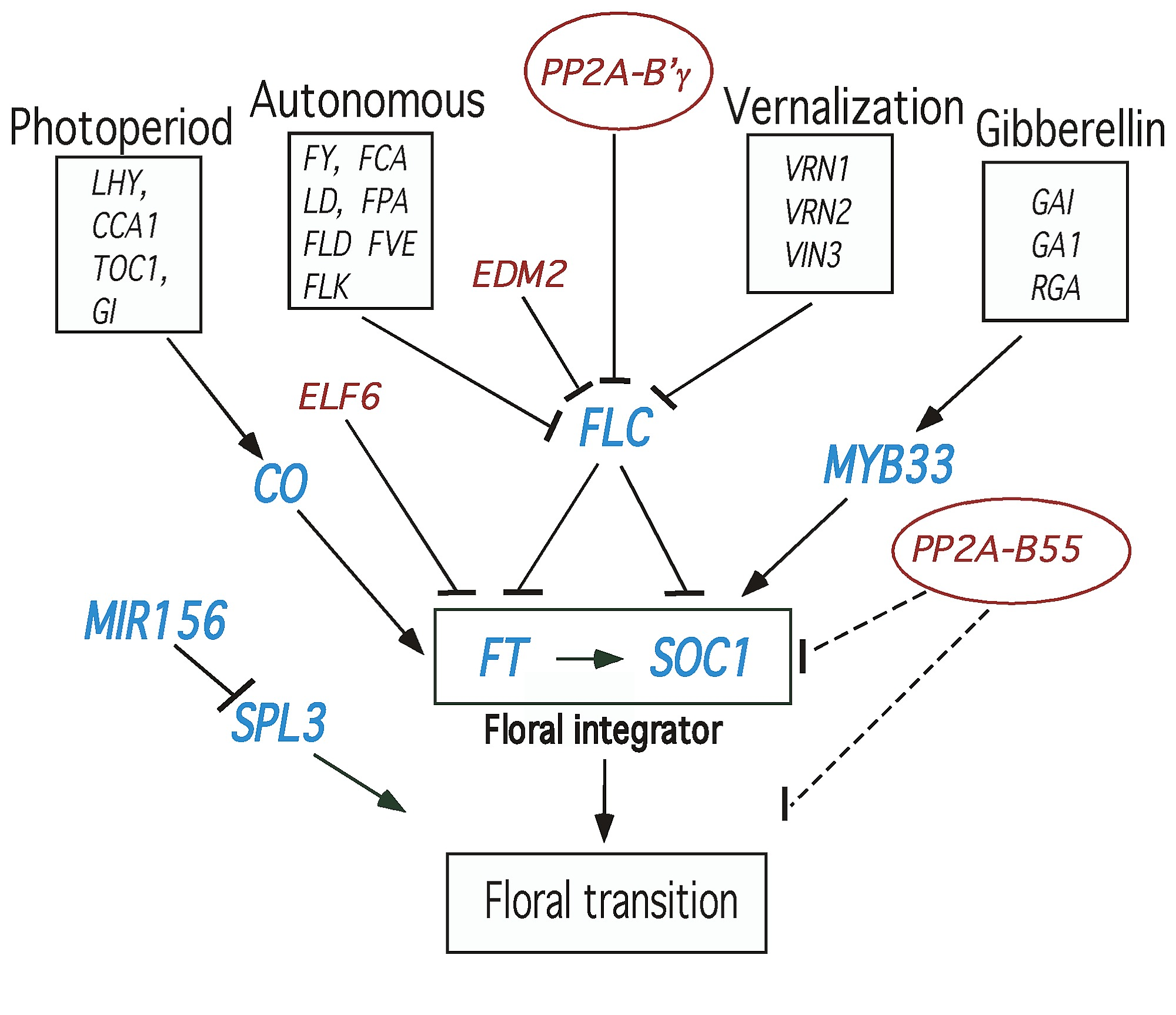 A schematic model for involvement of PP2A in flowering time pathways ...