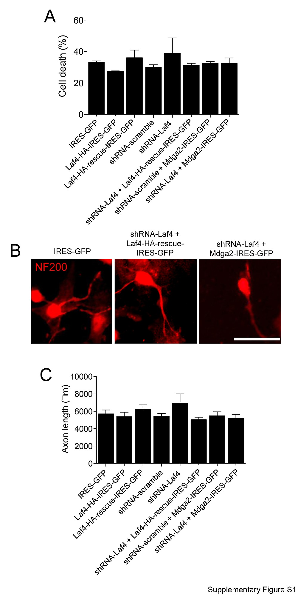 laf4 aff3 a gene involved in intellectual disability is required