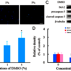 Effects of DMSO on apoptosis of cultured mouse cortical