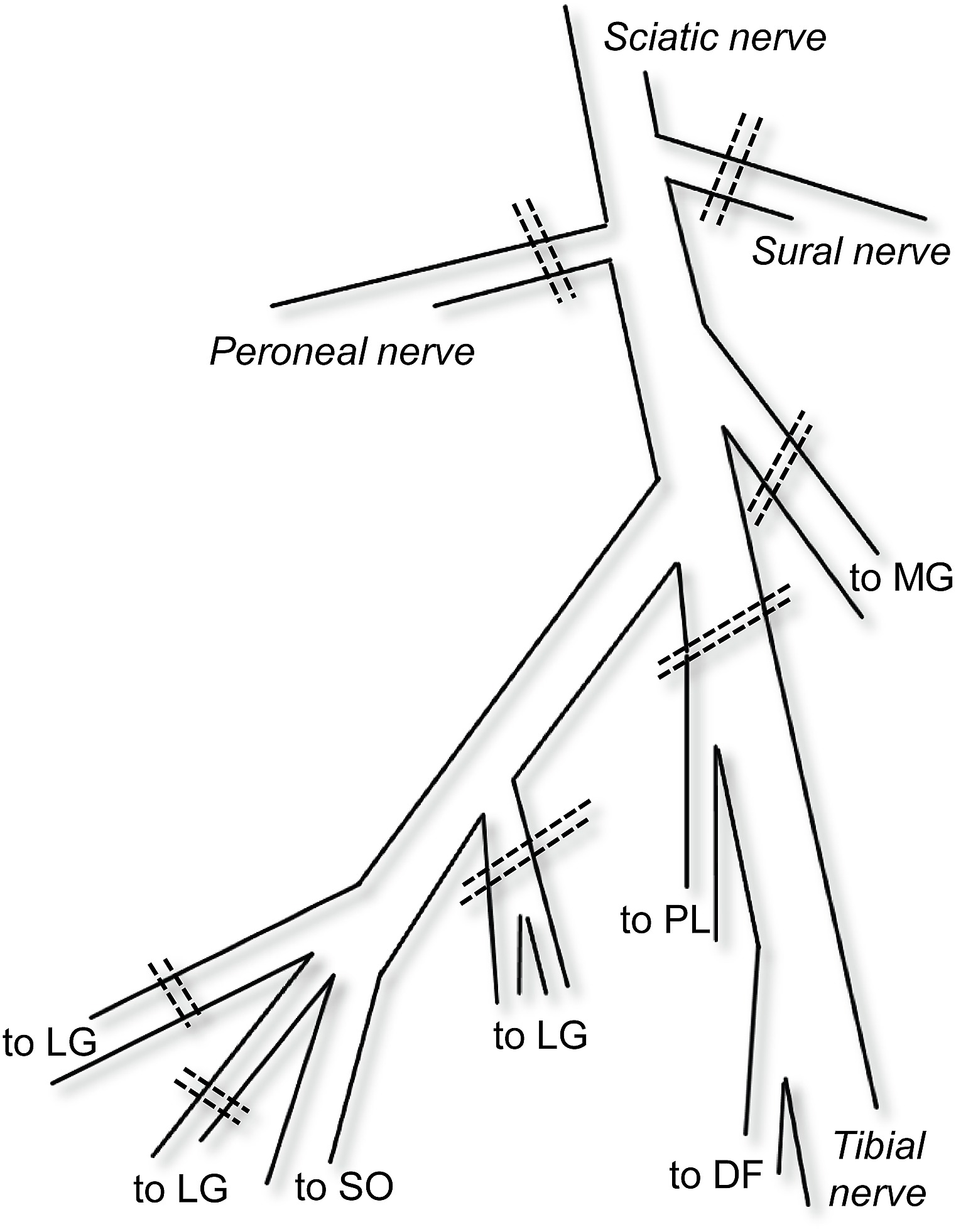 Schematic view of branches of the sciatic nerve in the popliteal fossa.