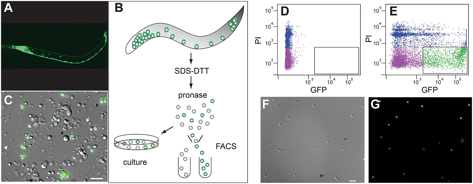 Isolation of C  elegans neurons from larval animals by