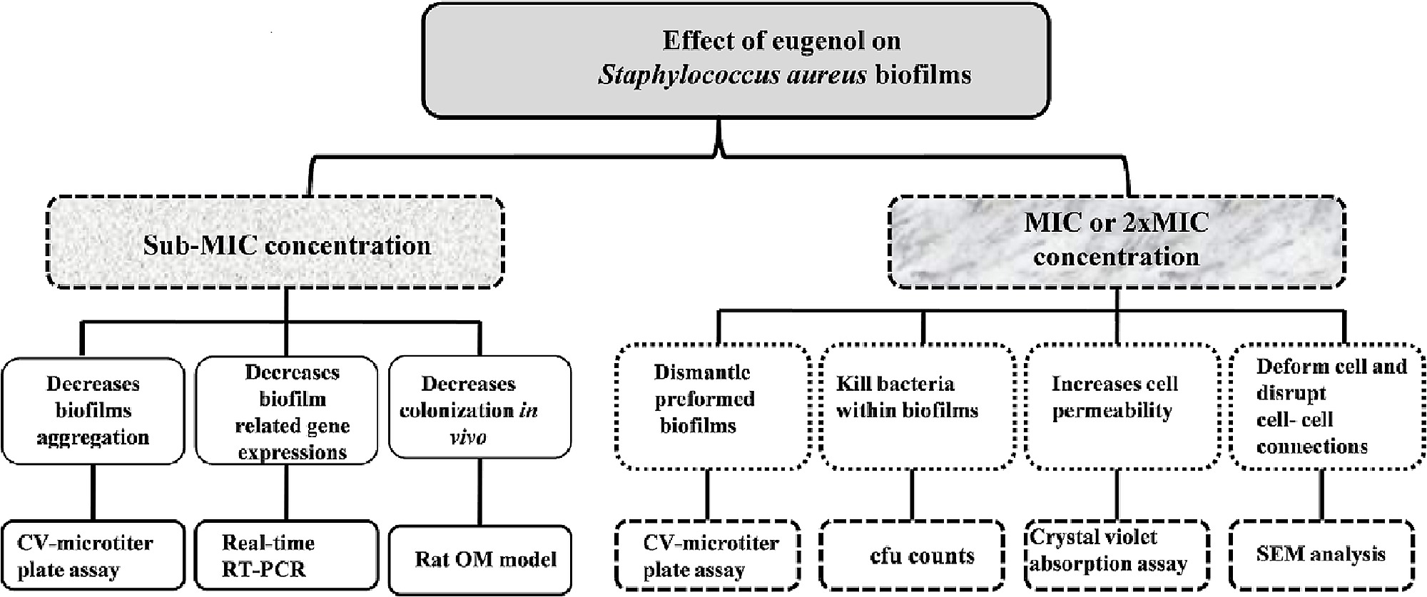 Systematic diagram showing effect of eugenol on Staphylococcus ...
