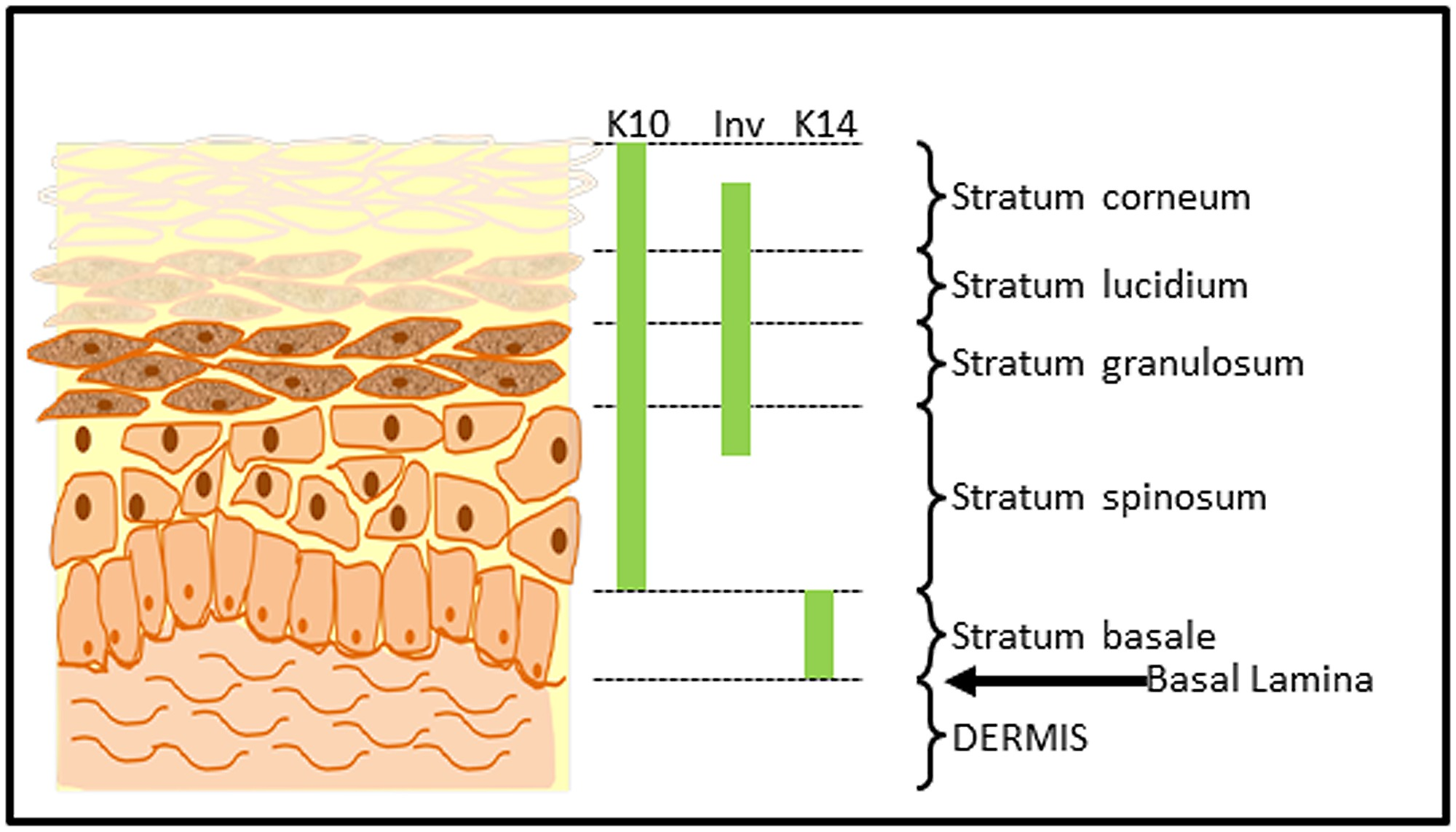 list of synonyms and antonyms of the word epidermis diagram