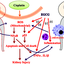 Schematic Diagram Of Protection Mechanism Of Egcg In