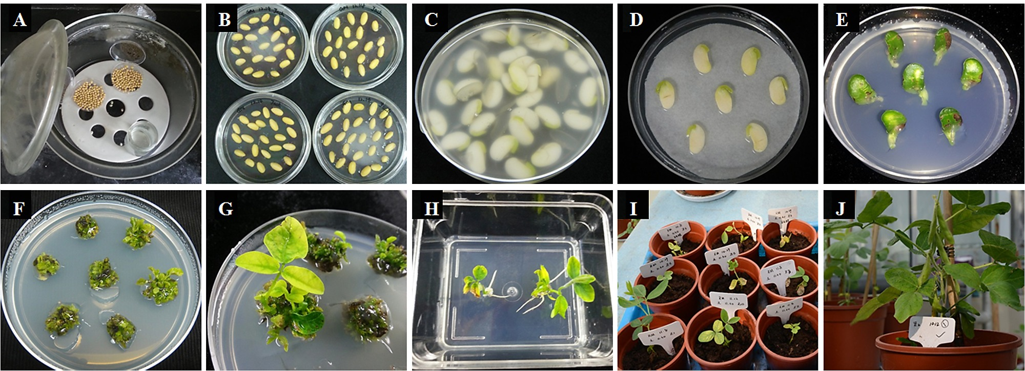 Overexpression Of A Gmcnx1 Gene Enhanced Activity Nitrate Back Gt Images For Bean Germination Diagram Agrobacterium Tumefaciens Mediated Transformation Using Cotyledonary Node As Explants In Soybean