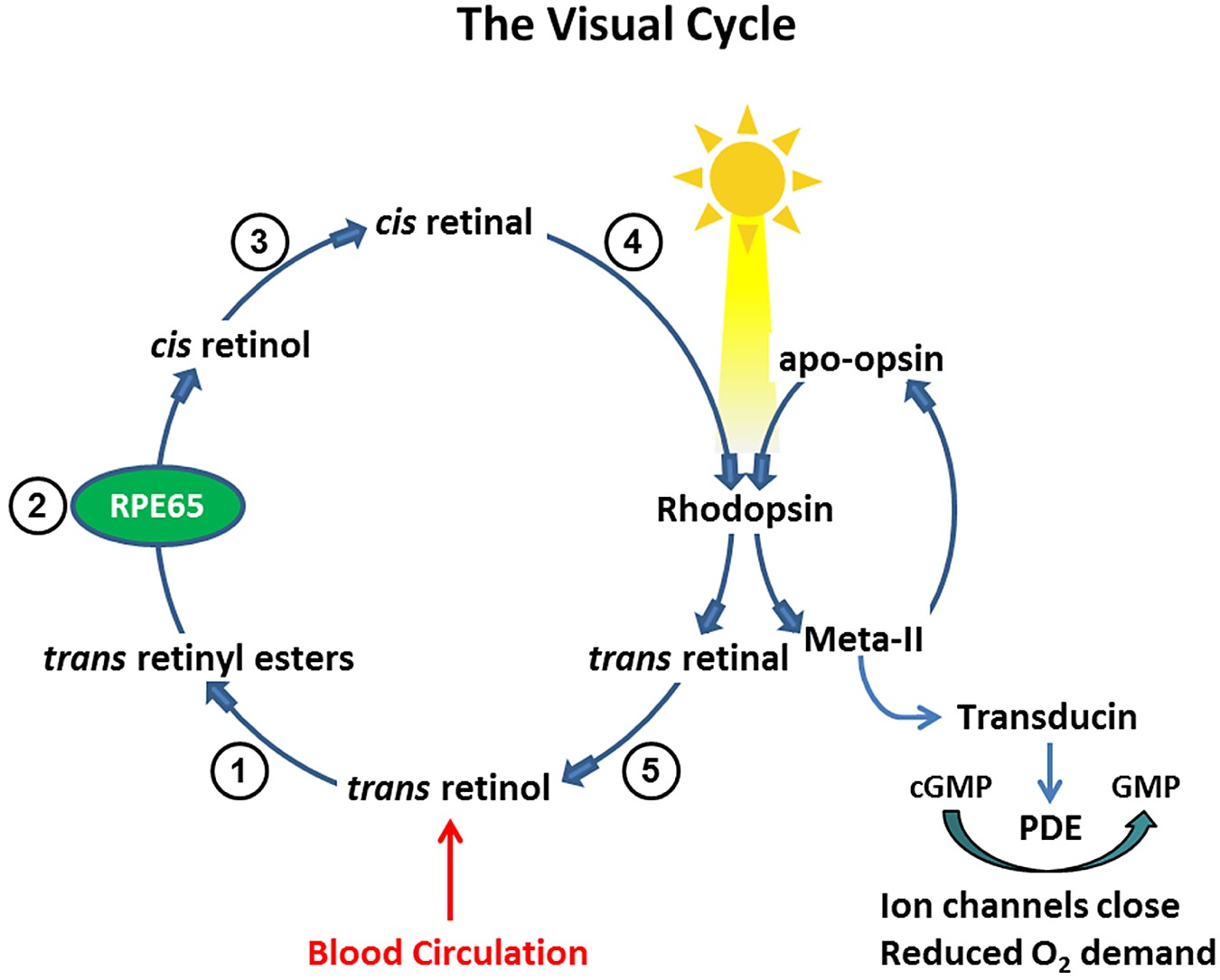 Processing of vitamin a in the visual cycle pooptronica Choice Image