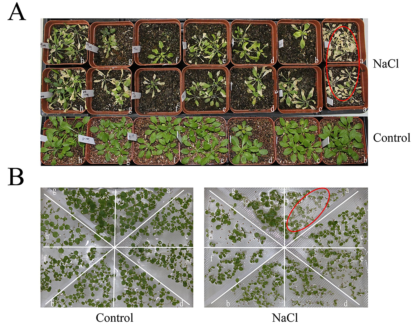Potassium Retention Under Salt Stress Is Associated With Natural Still Diagram Rectifying Plant For Purifying Figshare