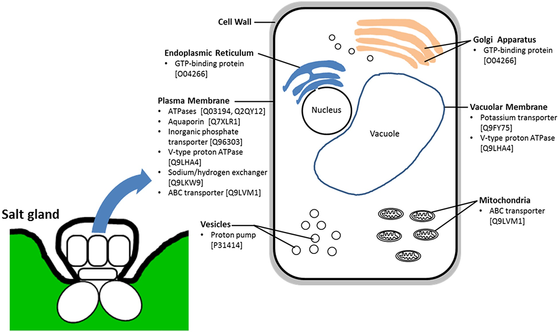 Schematic diagram of salt gland cell showing predicted cellular schematic diagram of salt gland cell showing predicted cellular localization of selected list of 10 annotated proteins identified from salt gland enriched pooptronica