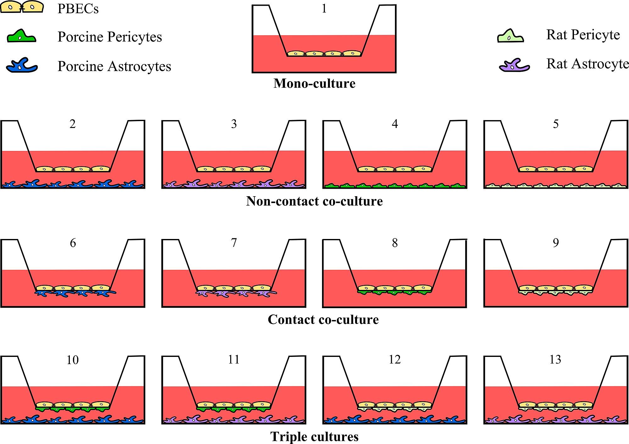 A Triple Culture Model of the Blood-Brain Barrier Using Porcine ...