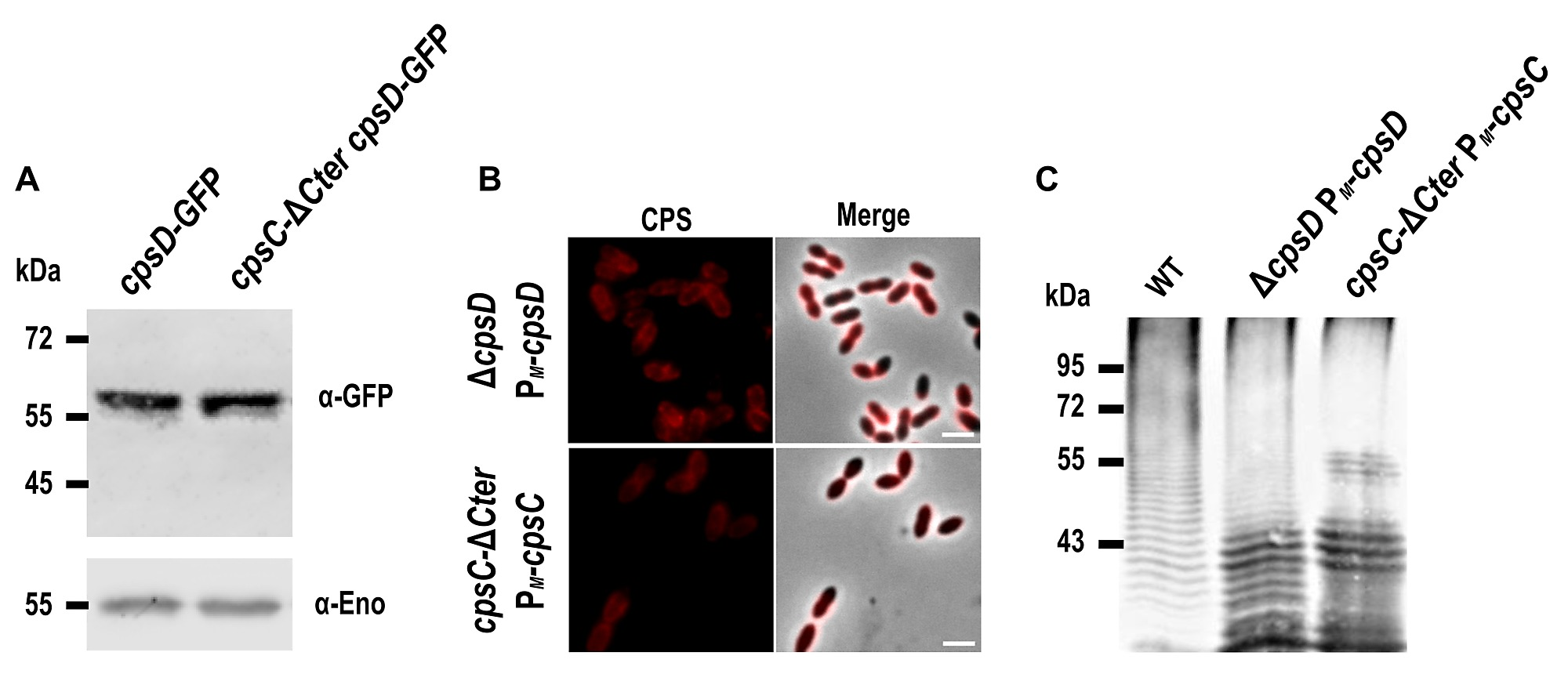 Autophosphorylation of the Bacterial Tyrosine-Kinase CpsD