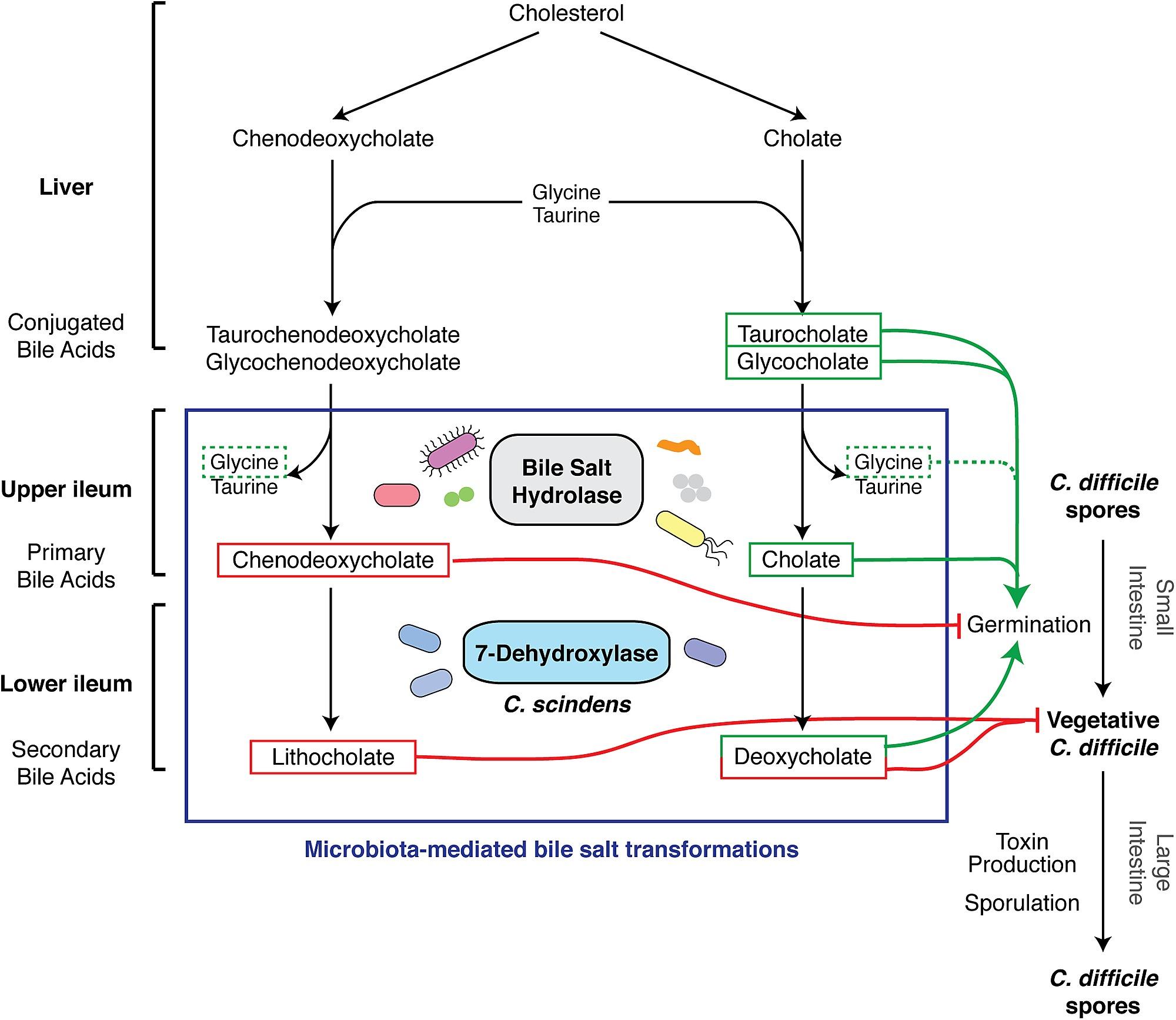 Effect Of Bile Acid Metabolism On The Developmental Life Cycle Of C