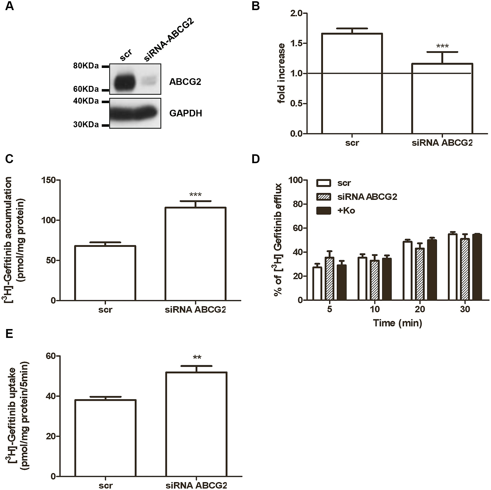 Effect Of Abcg2 Silencing On 3hgefitinib Accumulation Efflux And Musical Effects Circuits Uptake