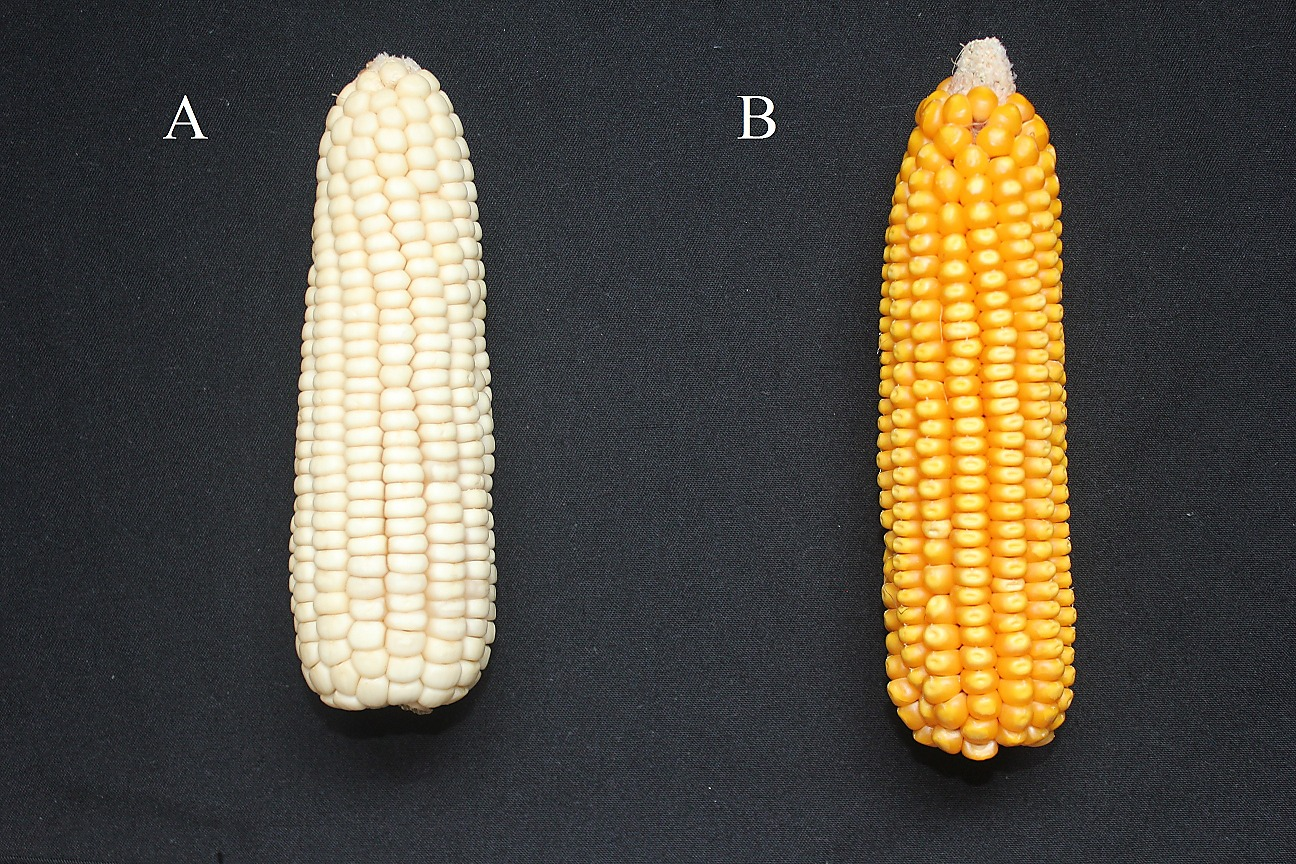 Identification of Genetic Differentiation between Waxy and Common ...