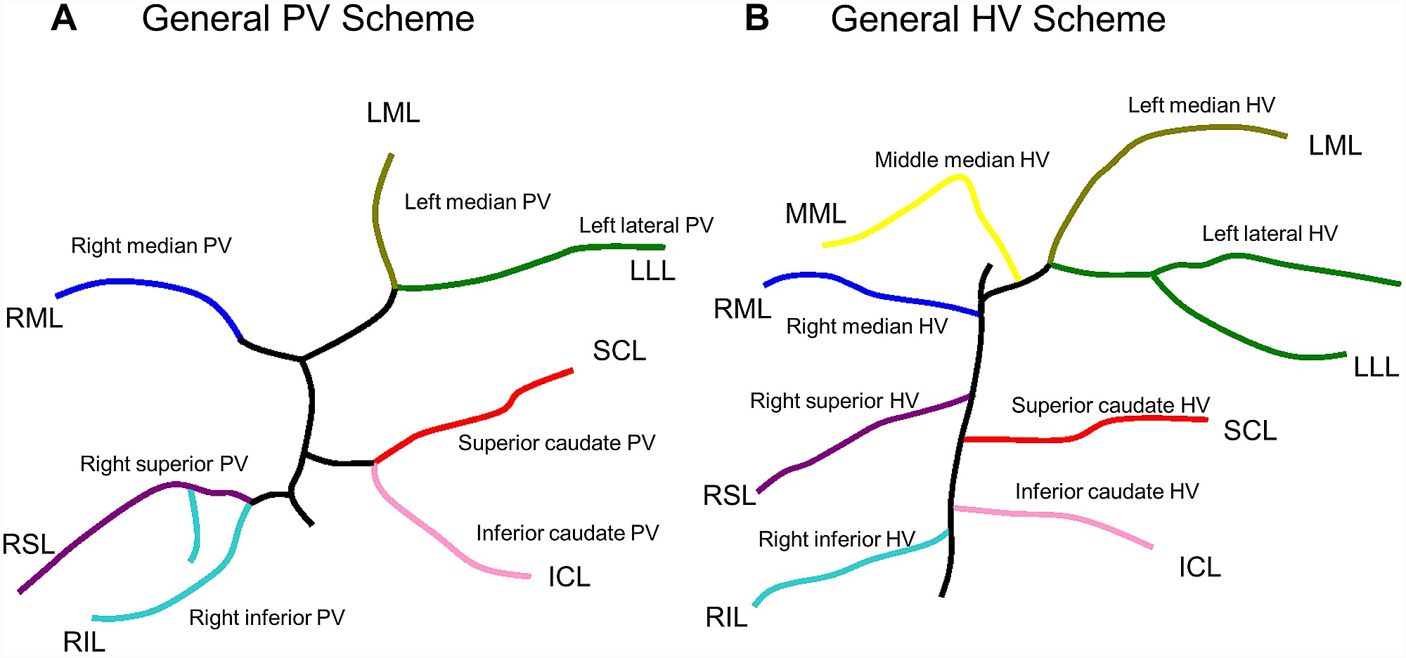 General hepatic vascular anatomy in rats (schematic drawing).