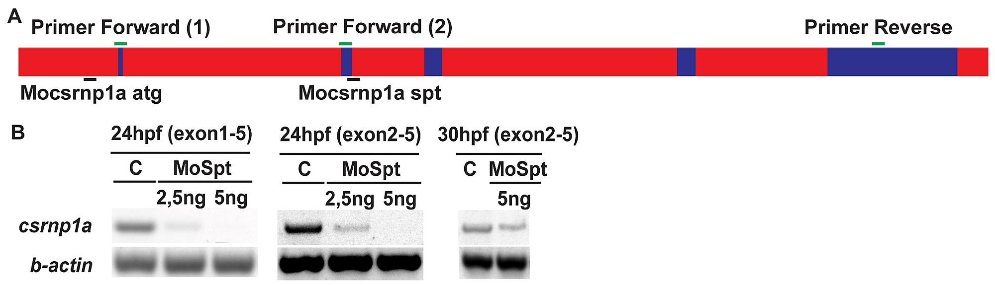 Csrnp1a Is Necessary For The Development Of Primitive Hematopoiesis 1996 B100 Fuse Box Diagram Figshare