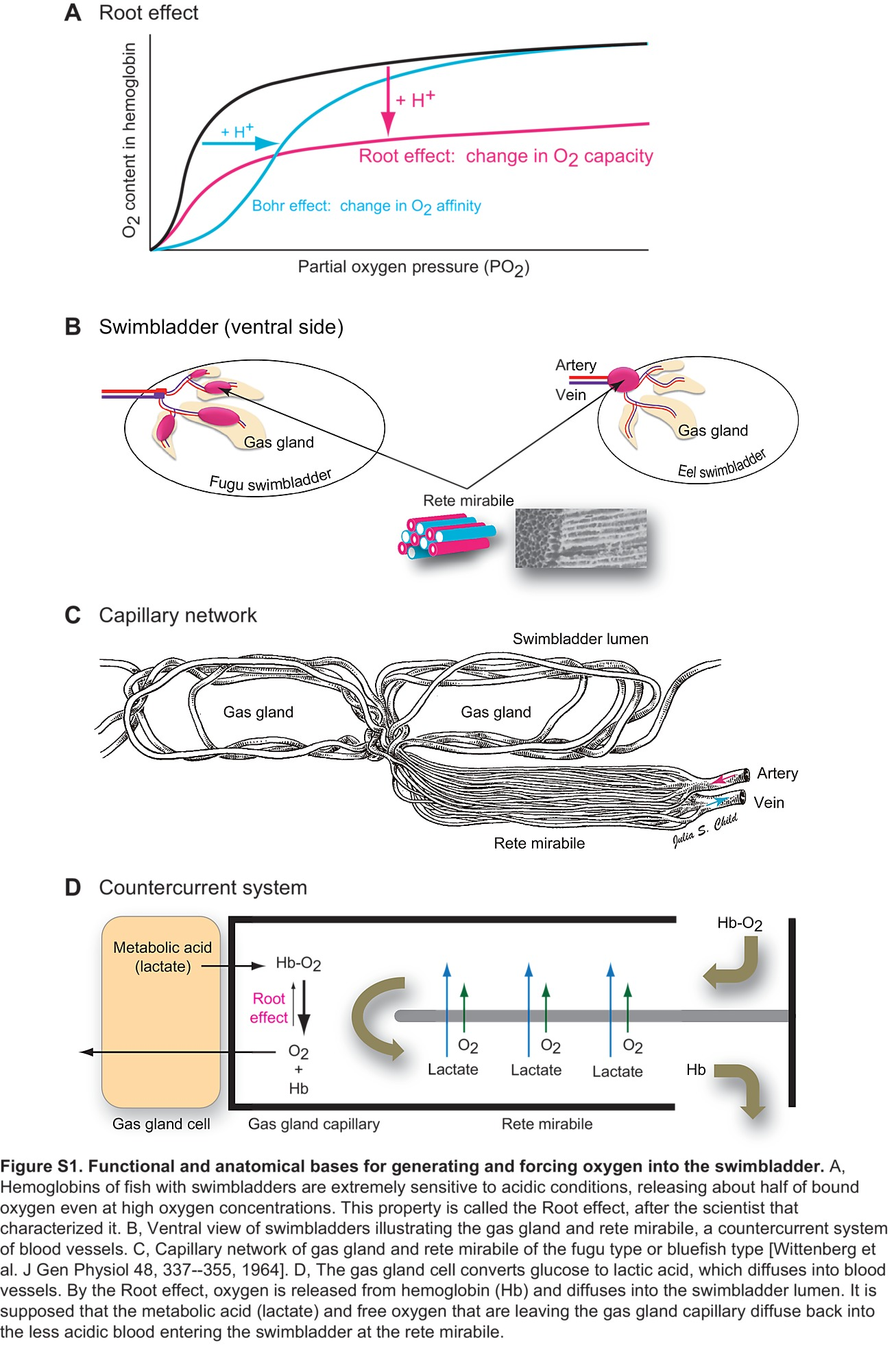 O2 filled swimbladder employs monocarboxylate transporters for the figure s1 pooptronica