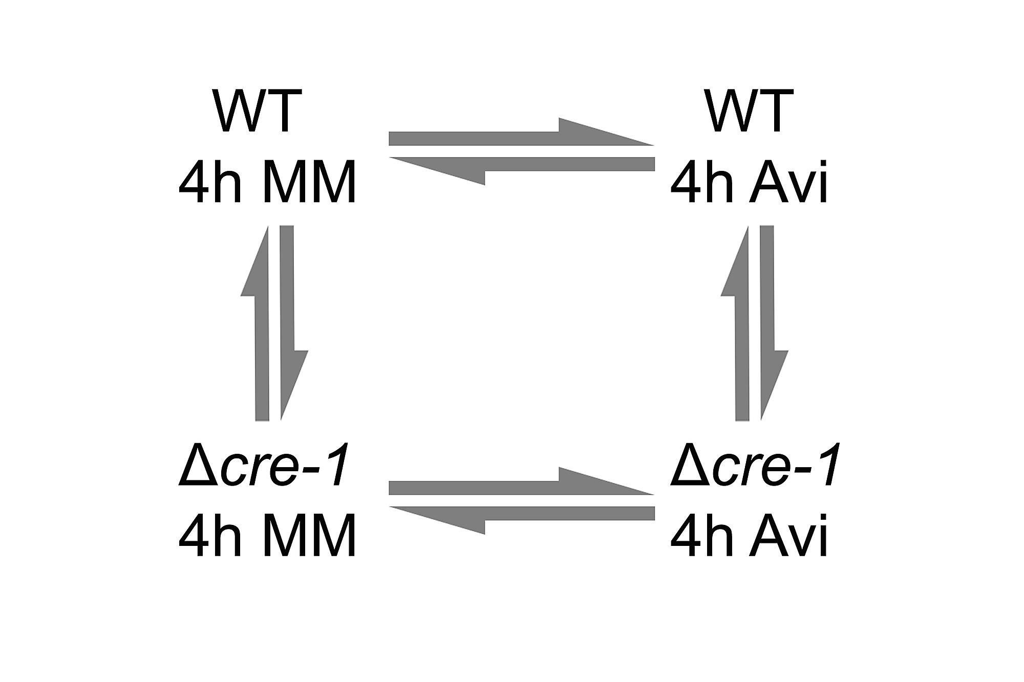 Identification Of The Cre 1 Cellulolytic Regulon In Neurospora Crassa G2 Schematicjpg 984 Kb 114 Views Figshare