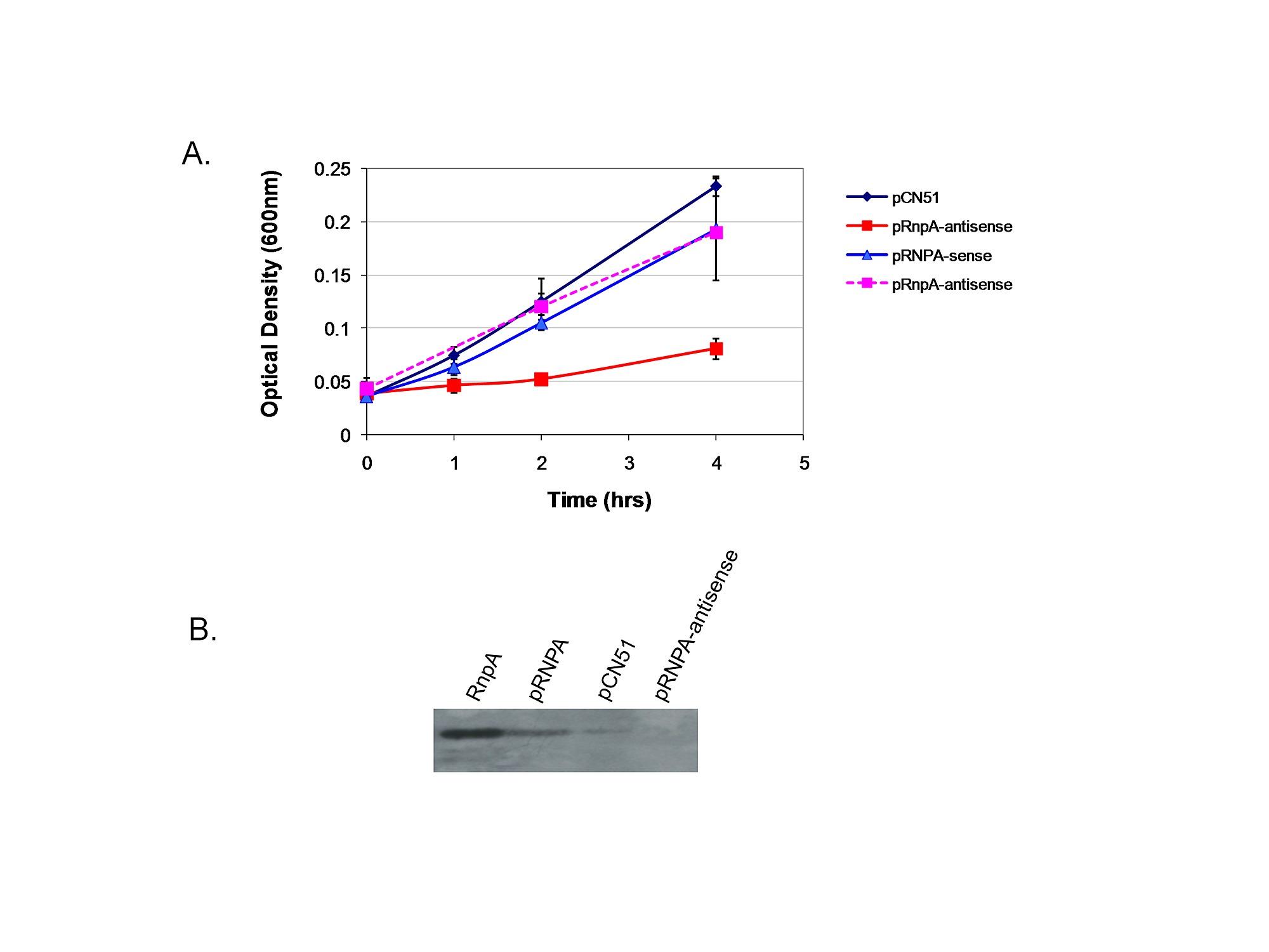 Small Molecule Inhibitors of Staphylococcus aureus RnpA Alter
