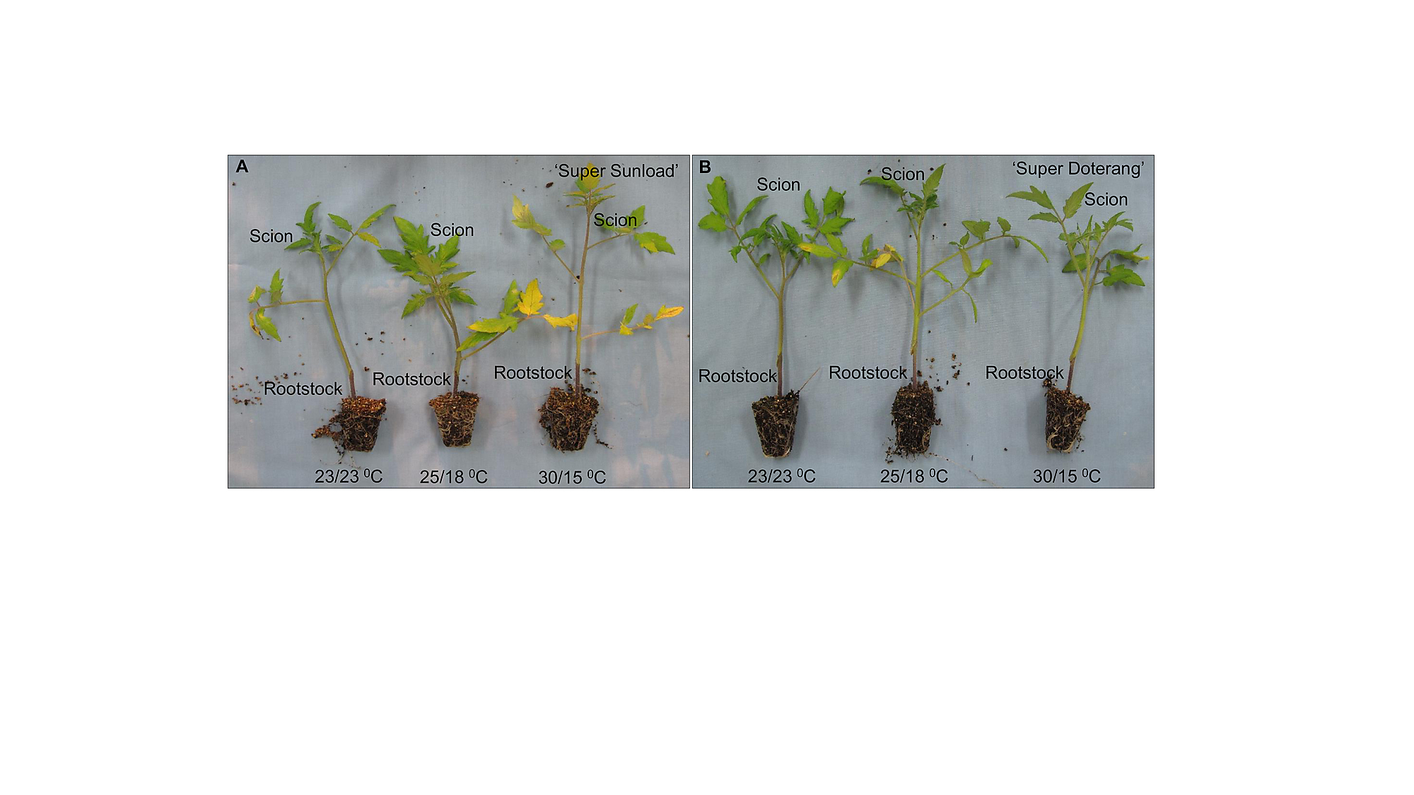 Physiological And Proteomic Investigations To Study The Response Of Prune Tomatoes Diagram Tomato Plant S1 Fig Representative Images Grafted Plants