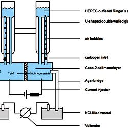 The Ussing chamber setup (modified after Li et al , 2004)