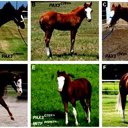 Phenotypes Of Splashed White Horses From A Quarter Horse Family