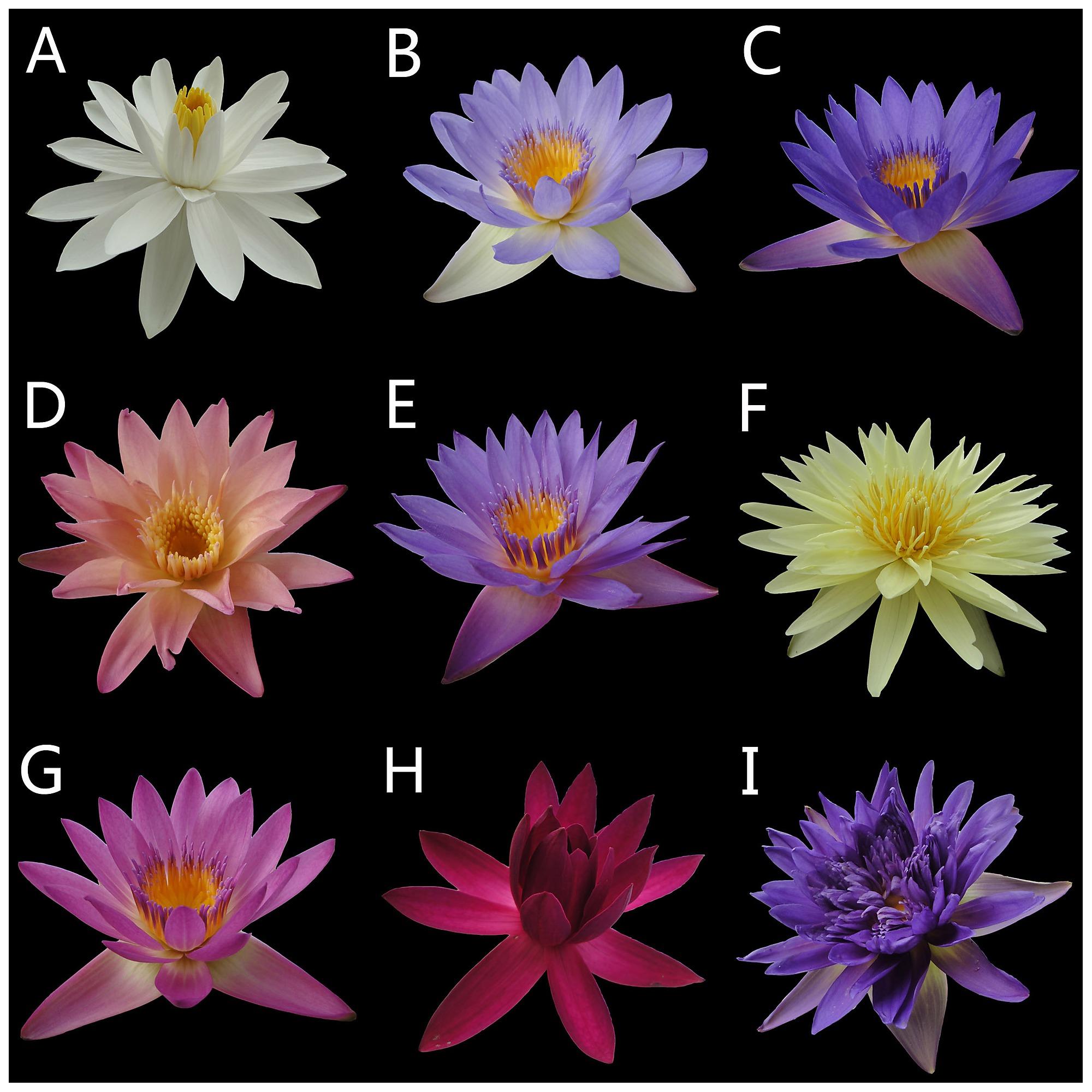 Nine Representative Flower Colors Ai Ji Bai A 18 B 27 C