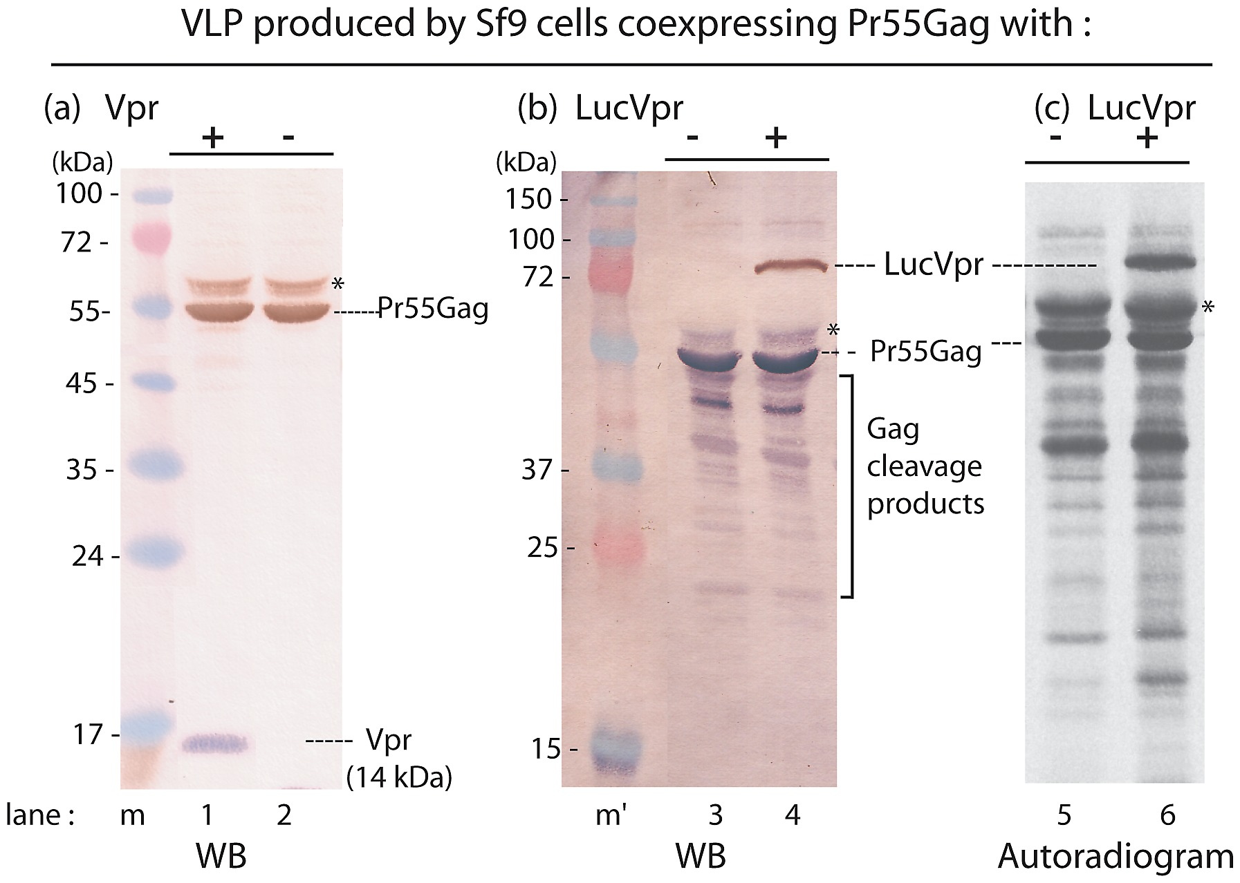 Packaging Of Vpr And LucVpr Into HIV 1 VLP Produced In Sf9 Cells