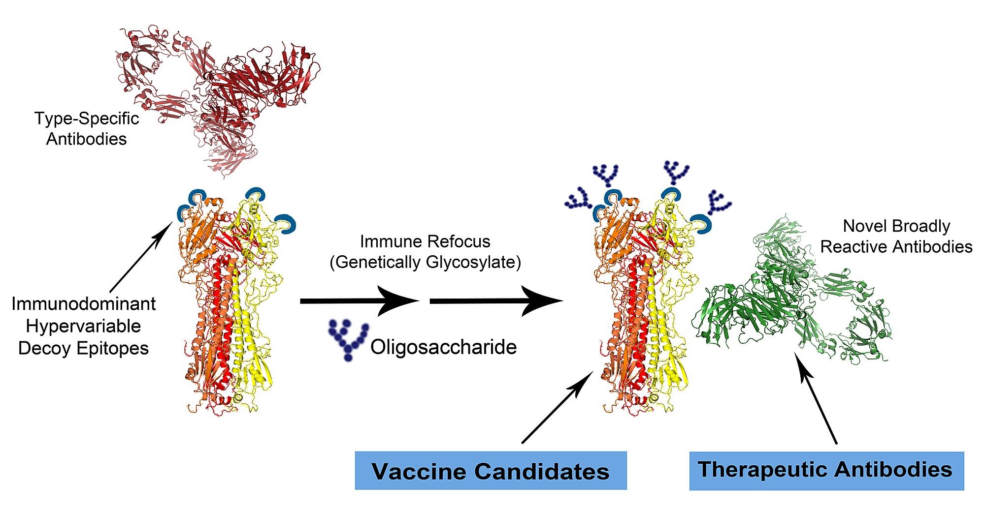 hemagglutinin diagram diagram of immune refocusing technology and steric antibody  immune refocusing technology and steric
