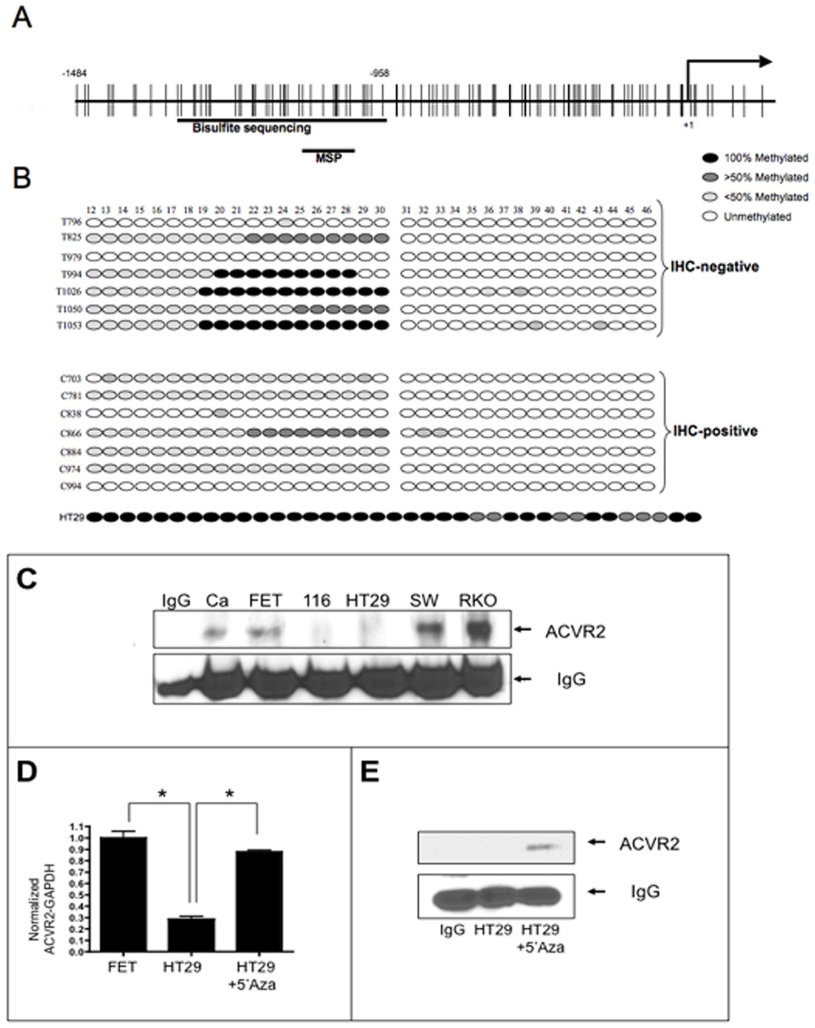 Acvr2 Promoter Hypermethylation And Loh In Colon Cancer Specimens And The Mss Ht29 Cell Line And Correlation Of Acvr2 Promoter Hypermethylation And Loss Of Acvr2 Expression