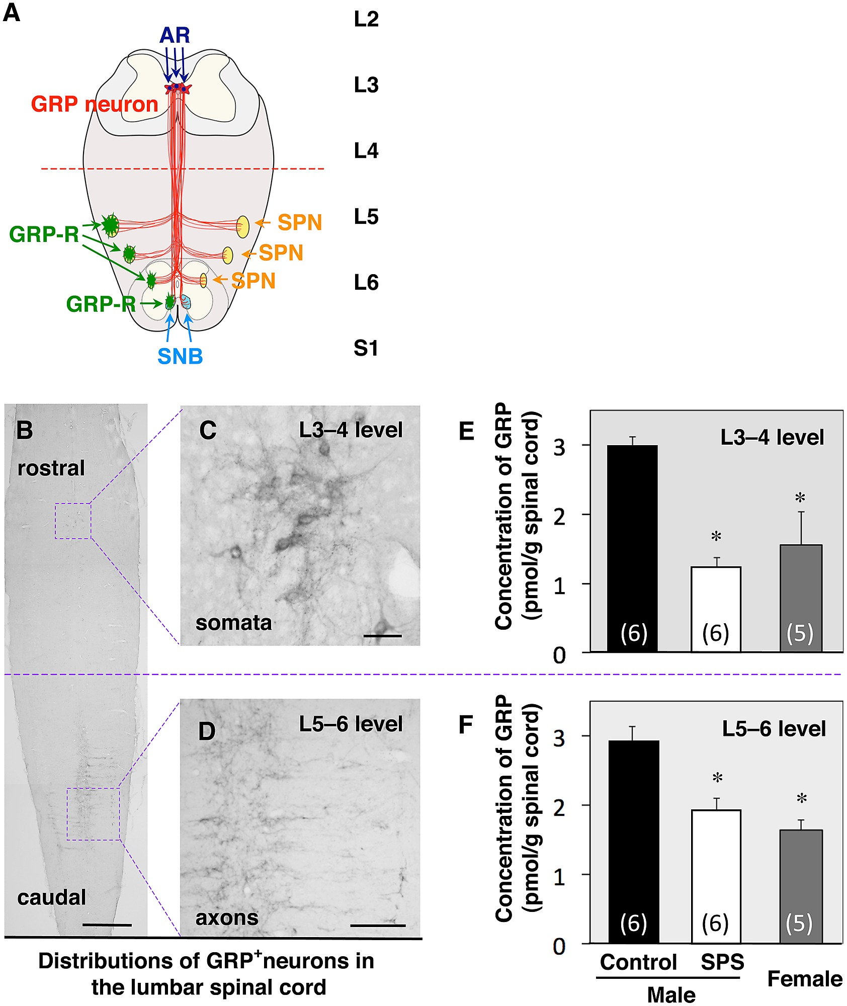 Sex Difference And Stress Response Of Grp Spinal Neurons