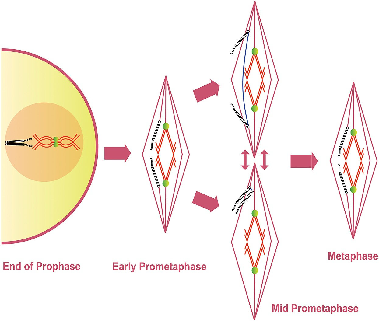 a revised model of prometaphase in drosophila oocytes