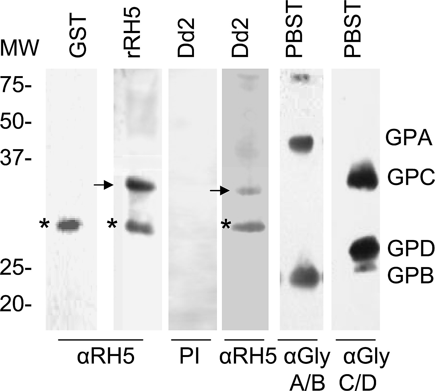 PfRH5 binds to a ∼32 kDa protein on human erythrocytes