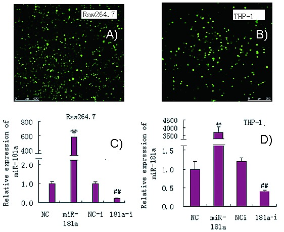 Mir 181a Regulates Inflammation Responses In Monocytes And Macrophages